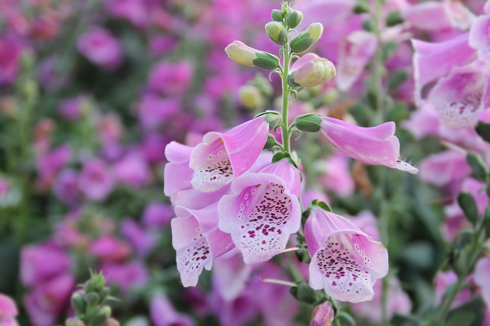 Digitalis (roter Fingerhut)